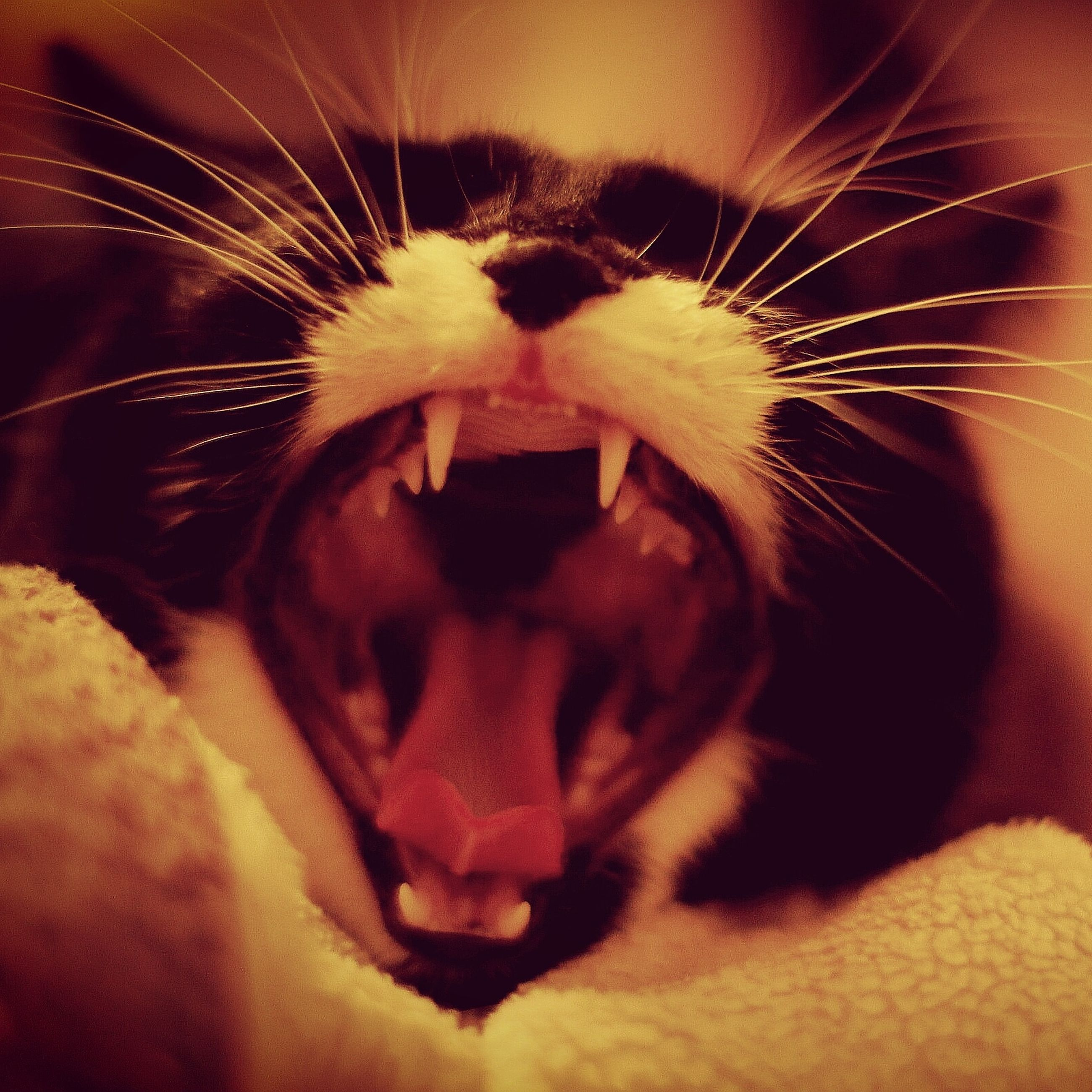 one animal, animal themes, animal, cat, domestic, pets, domestic animals, feline, mammal, mouth open, domestic cat, close-up, mouth, animal body part, vertebrate, whisker, yawning, facial expression, no people, animal teeth, animal mouth, animal head, animal nose, snout