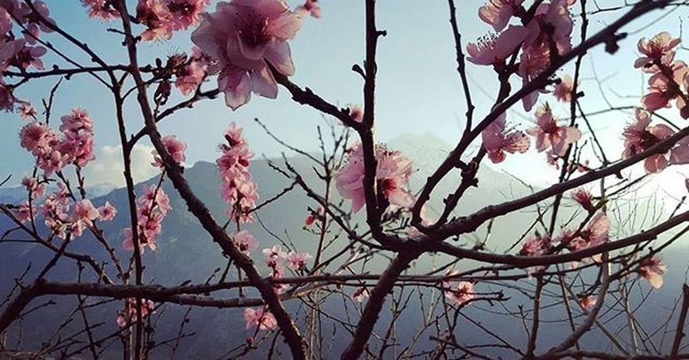 Dietro un Fiore si Nasconde Sempre una Montagnainnevata Fiorirosafioridipesco Valledaosta 🗻😍🎵🎨