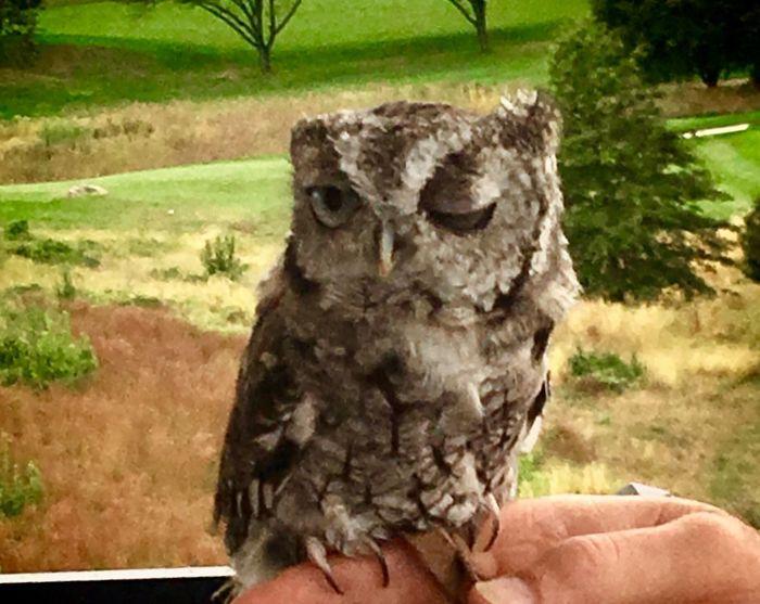 Miloto the screech owl from Greenburgh Nature Center