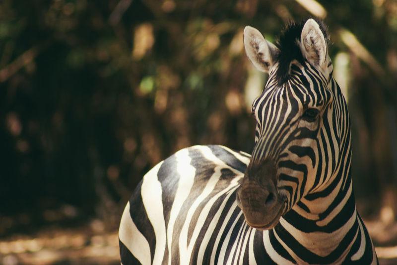 Zebras standing against trees