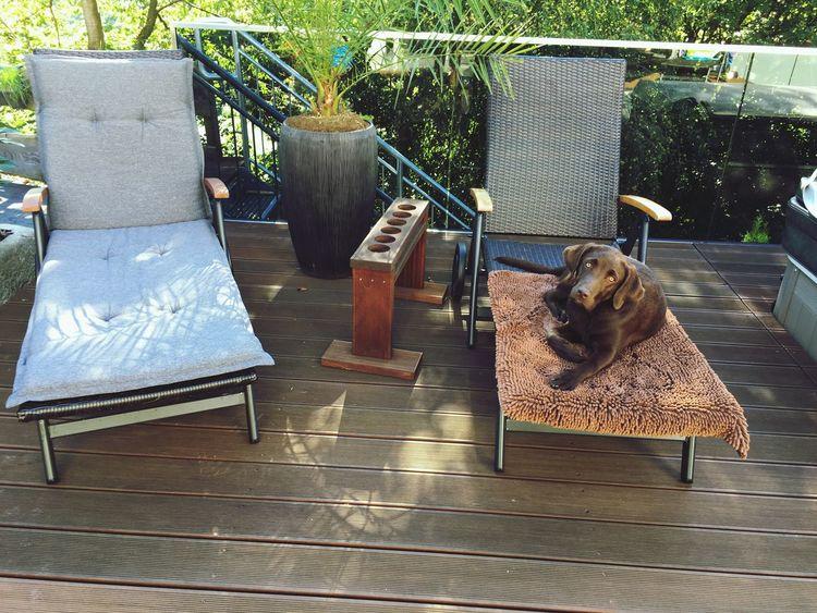 We make everyday a Holiday 🌴☀️ Labrador Balu Chocolatelab