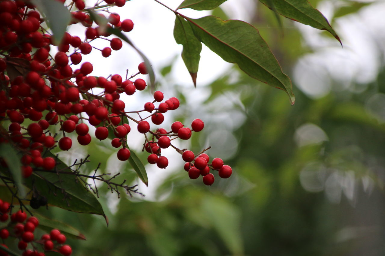 fruit, food and drink, growth, tree, red, berry fruit, growing, focus on foreground, day, outdoors, rowanberry, healthy eating, food, nature, leaf, freshness, green color, branch, no people, low angle view, beauty in nature, hanging, close-up