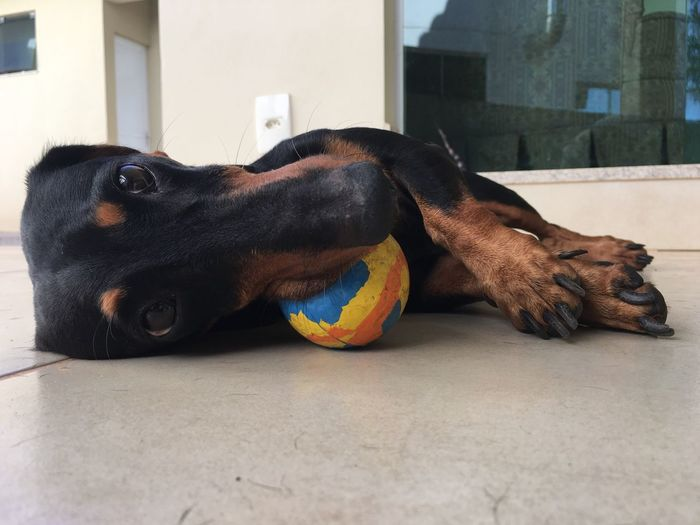 Home Home Sweet Home Home Is Where The Art Is Daschund Sausage Sausagedog Teckel Dog Dogslife Dogs Of EyeEm Doglover Dogs Of Summer Brazil Dogoftheday Lazy Lazy Day Lazy Sunday Lazy Afternoon Lazy Dog Cute Pets Cute Cute Dog  Pet Portraits