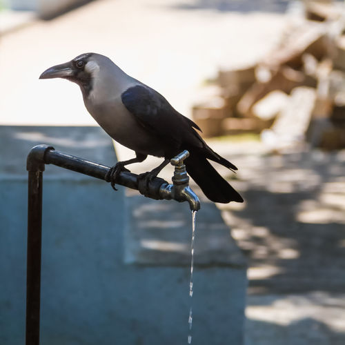 Close-Up Of Crow Perching On Faucet