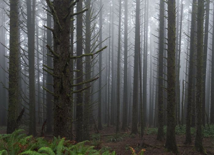 Landscape of foggy morning in a tree trunk forest in Oregon Oregon Misty Morning Tree Forest Plant WoodLand Land Fog Tree Trunk Pinaceae Nature Pine Tree Pine Woodland Tranquility Beauty In Nature Environment Growth Scenics - Nature No People Outdoors Coniferous Tree Trunk