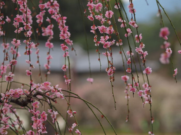 Flowering Plant Flower Plant Growth Vulnerability  Beauty In Nature Fragility Pink Color Freshness Focus On Foreground Close-up Day Nature No People Springtime Petal Tree Blossom Outdoors Botany Flower Head Olympus Fukuoka Japan Plum Blossom