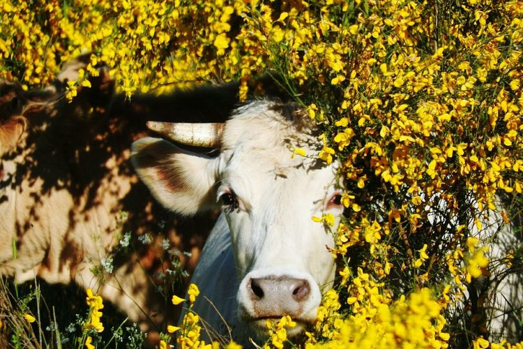 Corious cow Mammal Yellow Nature Cattle One Animal Agriculture Outdoors Cow Day No People Animal Themes Rural Scene Plant Taking Pictures Nature Taking Photos Sila Calabria Calabriadaamare Calabria South Italy Flower Animal Plant Growth Ginestra Young Animal