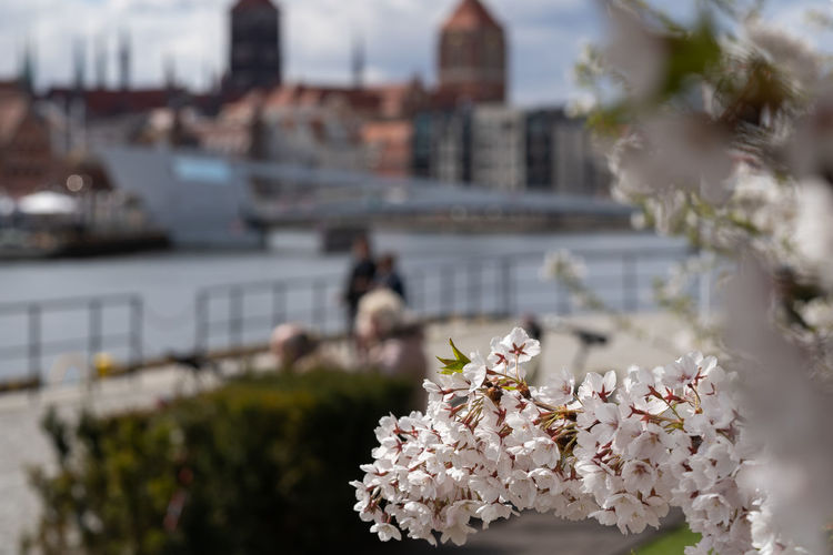 Close-up of cherry blossom against buildings in city