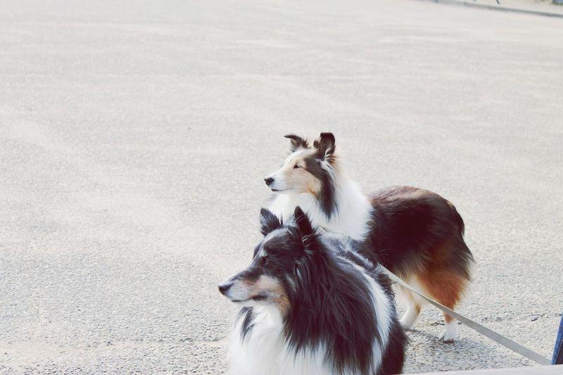 Shetland sheepdogs on street