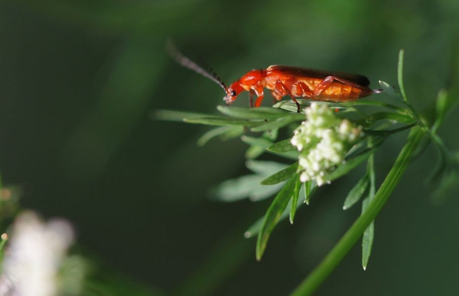 Roter Weichkäfer Common Red Soldier Beetles Insect Photography Insect Beetle Beetle Insect Nature Animal Themes
