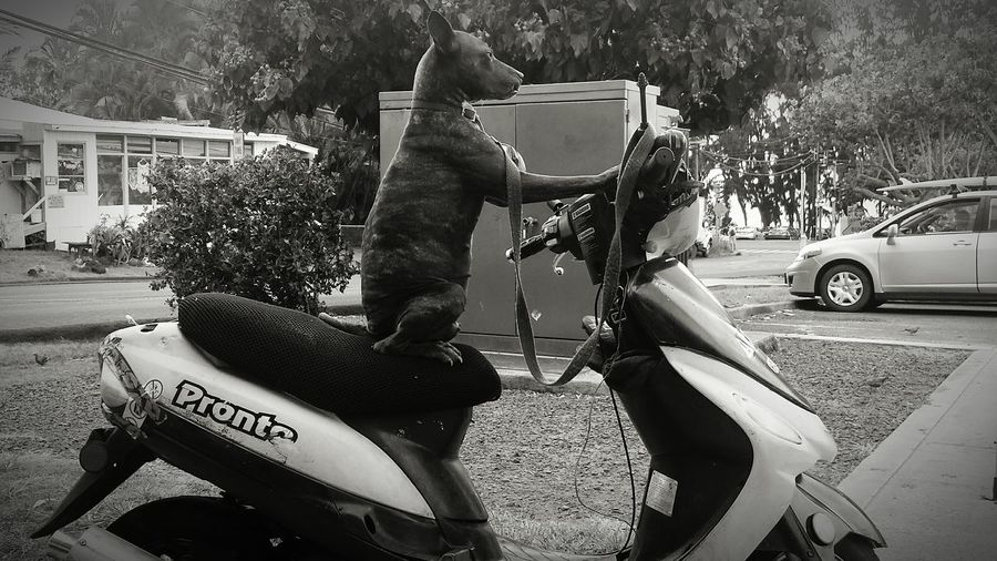 Dog Scooter Moped Vespa Black And White Hawaii