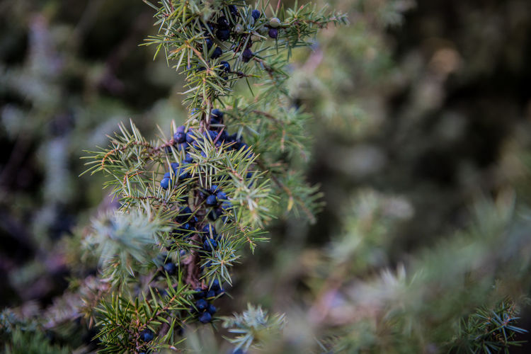 Nature Flower Blue Autumn Fall Day Outdoors Purple Plant Growth Fragility Season  Freshness Pine Tree Close-up Beauty In Nature Botany Thorn No People Vulnerability  Green Color Selective Focus Flowering Plant Needle - Plant Part Coniferous Tree
