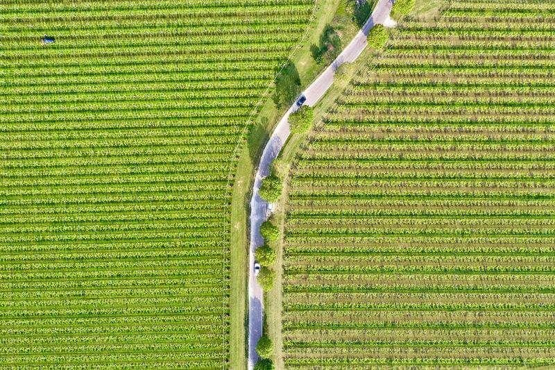 Italy, Verona: Valpolicella wineyards Drone  Green Color Agriculture Plant Land Nature No People Growth Field Wineyard Valpolicella Drone Photography From Above  High Angle View Looking Down Pattern Textured  Full Frame Crop  Backgrounds Parallel Lines Lines Landscape Springtime Day Daylight Daytime Geometry Horizontal Italy Verona Repetition Nature Outdoors Nobody Viniculture Environment Shades Of Green  In A Row Side By Side Order Abundance Rural Scene Aerial View Road Country Road Curve Transportation Scenics - Nature Tranquil Scene