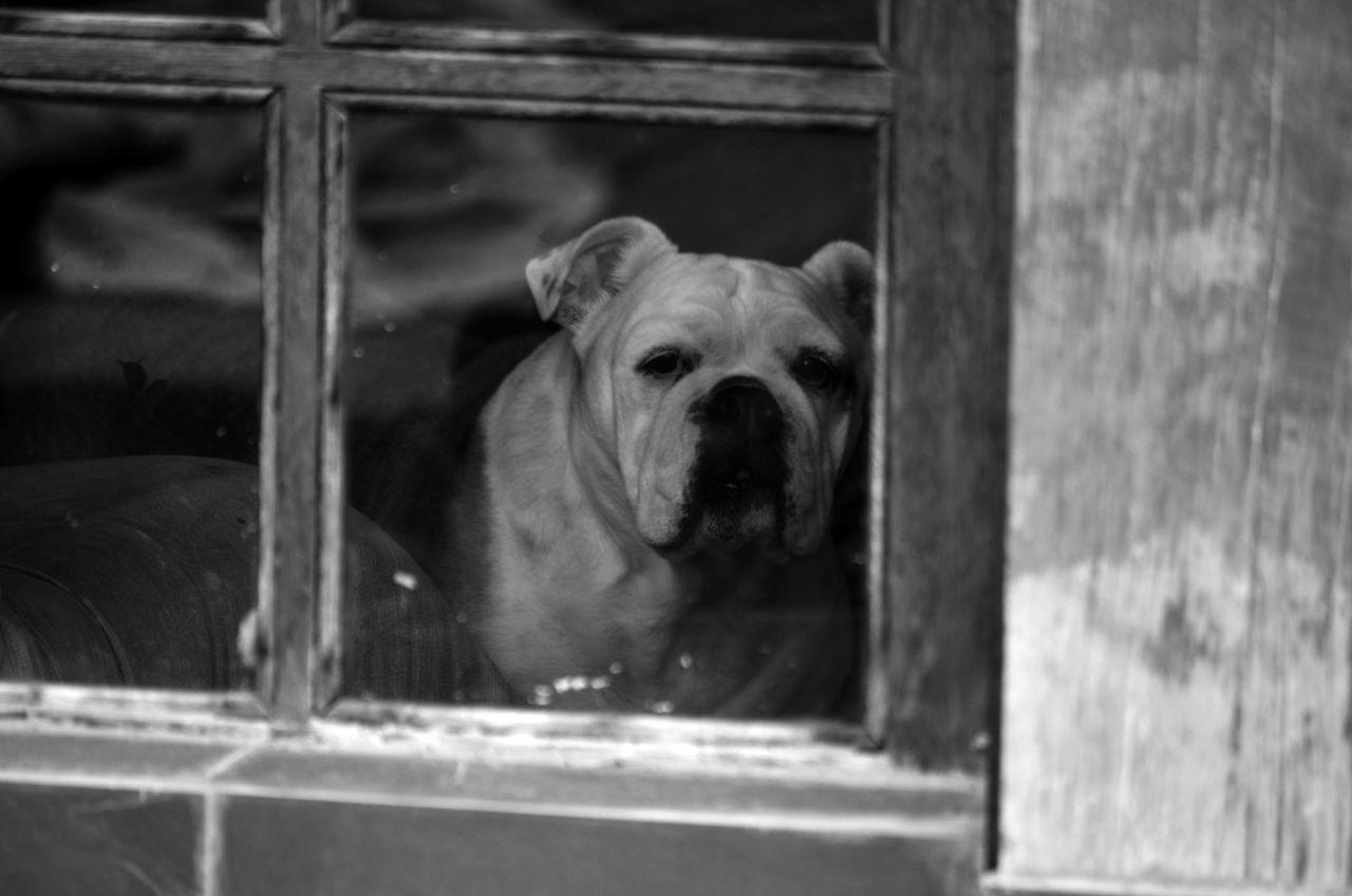 Portrait Of Bulldog In Window