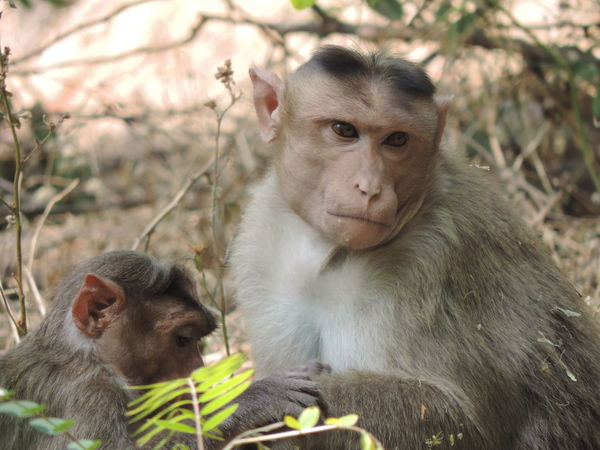 The Rhesus macaque Monkey (Macaca mulatta) Rhesus Macaque Animal Family Animal Wildlife Animals In The Wild Day Female Animal Focus On Foreground Group Of Animals Mammal Outdoors People Portrait Primate Sitting Two Animals Vertebrate Young Young Animal