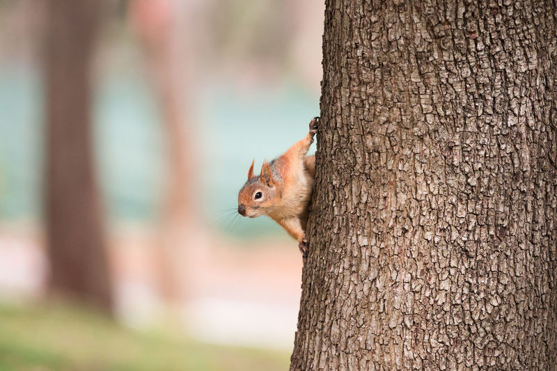 Close-up of eurasian red squirrel on tree trunk