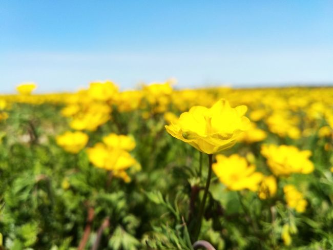 Beauty In Nature Nature Flower Clear Sky Yellow Oilseed Rape Flower Head Agriculture Tree Rural Scene Blossom Sky