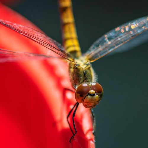 Close-up of dragonfly on red petal
