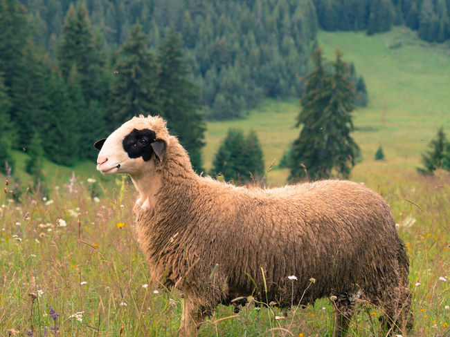 Trees Animal Animals In The Wild Counting Domestic Animals Field Grass Landscape Mountain Nature One Animal Outdoors Sheep Village