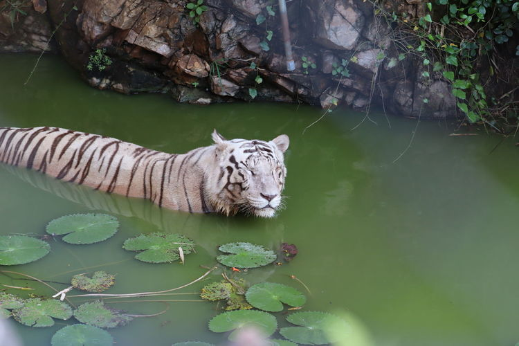 Closeup portrait shot of a white siberian tiger swimming. - image
