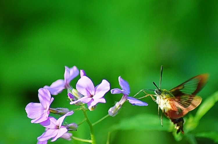 Showcase June Moth Butterfly Purple Flowers Green Green Nature Flying Pollenation Moth Bug Bugs Flowers The Mix Up Fine Art Photography Green Leaves Green Color Color Of Life Eyemphoto