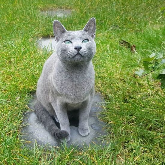 Leeloo is trying out her silver/green camo in the garden 😄🐾🌱🌞 Russianbluesofinstagram Russianbluekitten RussianBlue Russianbluecat Instacat Instakitty Greycat Silvercat Bluecat Cat_features ロシアンブルー Propetsfeature Catstocker Catstock Excellent_cats Rosyjskiniebieski Russischblau Gats Gatos Azulruso Catsmosh N1cecats Thedailykitten Kot Kotek kotka hussycatspetoftodaycatsisters sistercats