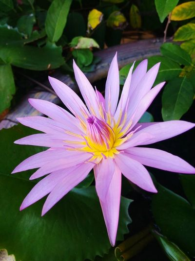 Flower Nature Beauty In Nature Freshness Petal Fragility Flower Head Purple Plant Growth Close-up Leaf Pollen Outdoors Water No People Passion Flower Day ดอกไม้ (Flower) ดอกบัว