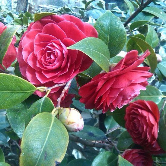 Le mie camelie Camelie Rosso Natura Fiori flowermygarden