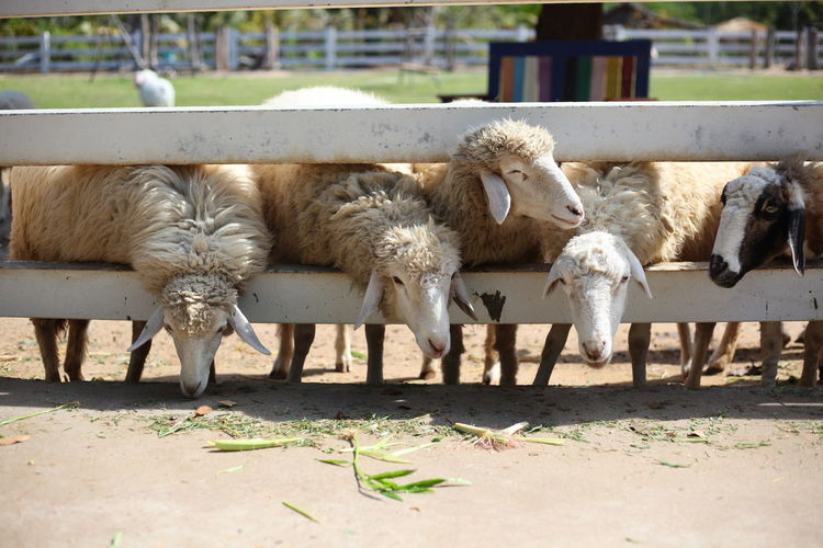 Ostrich Animal Pen Sheep Infant Grazing Goat Calf Animal Family Ranch Domestic Cattle Domesticated Animal Tag Herd Herbivorous Livestock Tag Elephant Calf Highland Cattle Kid Goat Pasture Lamb Dairy Farm Cattle Cow Foal