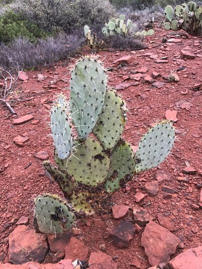 Prickly pear cactus 🌵 Cactus Growth Nature Prickly Pear Cactus Plant Thorn Uncultivated RISK Sharp Succulent Plant Spiked Danger Outdoors No People Day Close-up