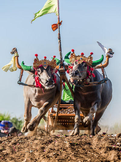 Bulls With Cart Running On Field Against Clear Sky During Event