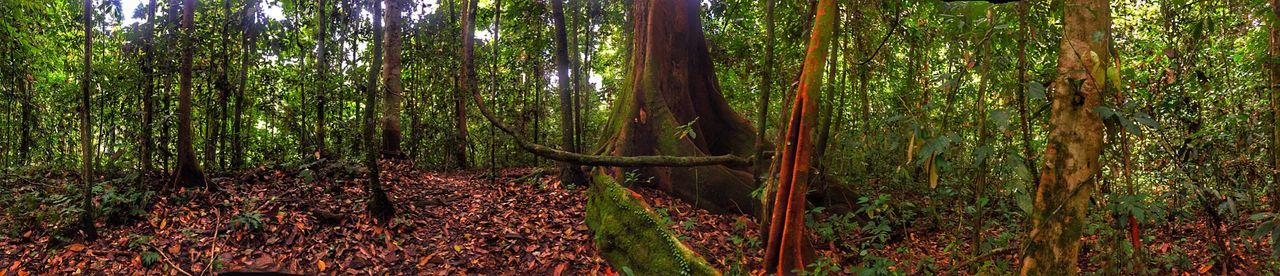 Nature Tree Forest Beauty In Nature Tree Trunk Tranquility Outdoors Growth Green Color No People Leaf Day Travel Destinations Scenics Bamboo - Plant Danum Valley Borneo Sabah Malaysia Adventure Leisure Activity Tree Beauty In Nature Rainforest Full Length Neighborhood Map The Great Outdoors - 2017 EyeEm Awards