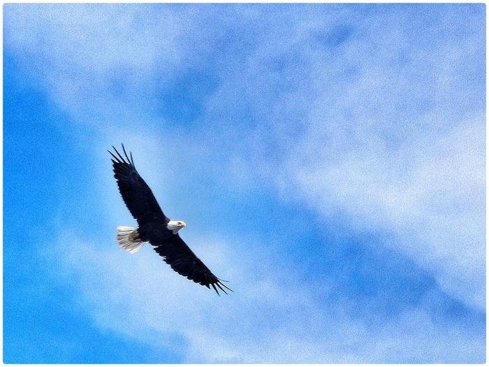 Bald Eagle Nature EyeEm Nature Lover Nature_collection Beautiful Nature Nature Photography Birds Birds In Flight Hello World OpenEdit