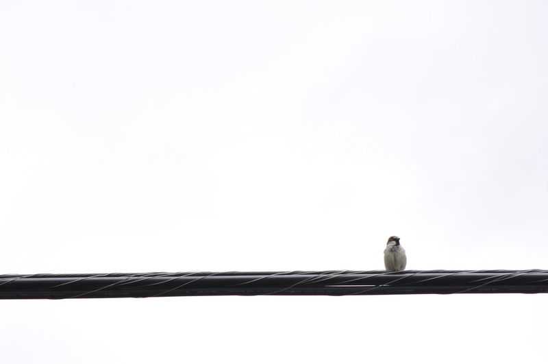 Animal Themes Animal Wildlife Animals In The Wild Bird Birds Clear Sky Copy Space Day Low Angle View Nature No People One Animal Outdoors Perching Sky Songbird  White Wire