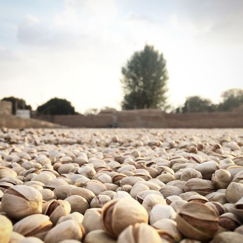 Pistachios Drying On Field
