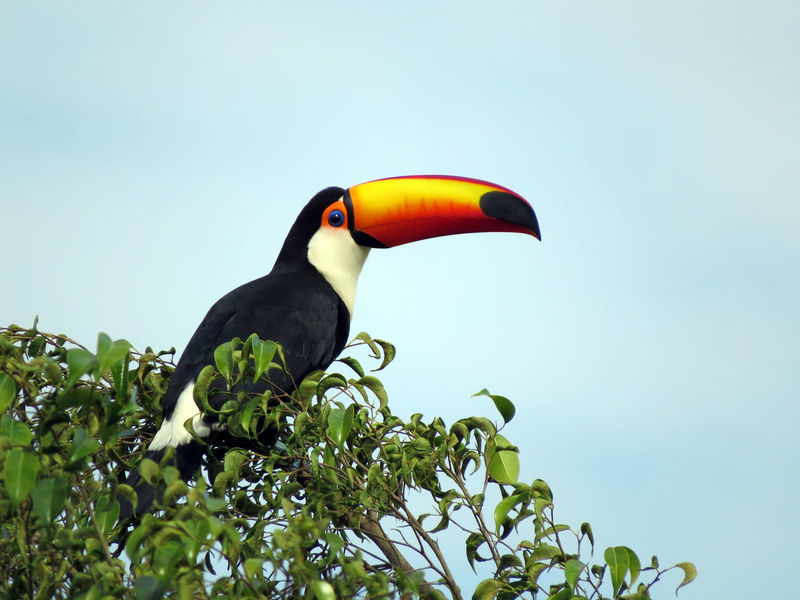 Toucan Animal Themes Animal Wildlife Animals In The Wild Beak Beauty In Nature Bird Clear Sky Close-up Day Green Color Hornbill Low Angle View Nature No People One Animal Outdoors Perching Sky Tree