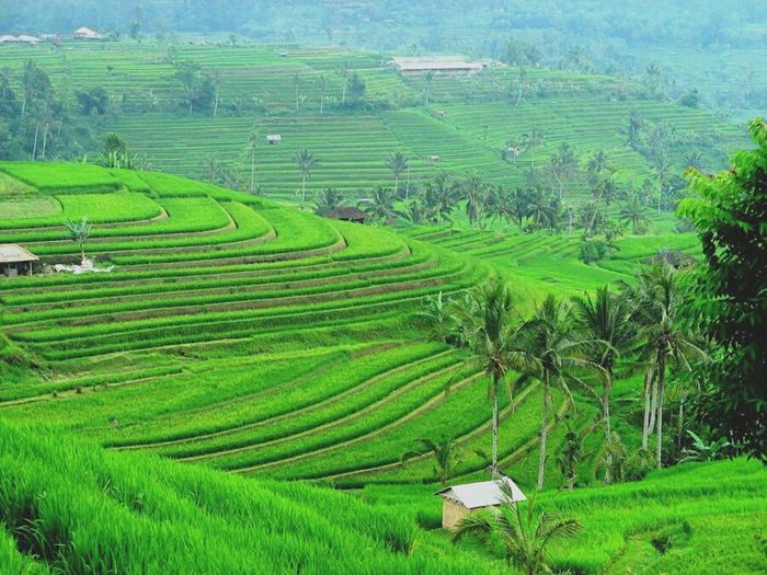 mendung🌆 #travelling #Indonesia #indonesia_photography Tea Crop Rice Paddy Tree Terraced Field Mountain Rural Scene Agriculture Field Asian Style Conical Hat Social Issues