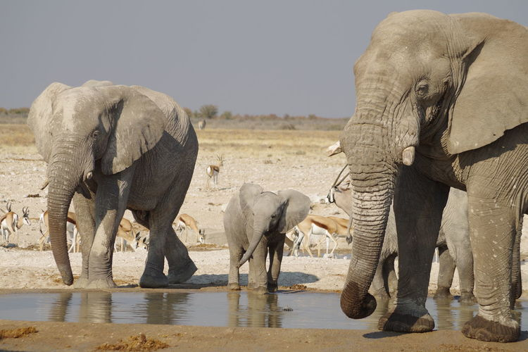 Elephants drinking water from waterhole in desert