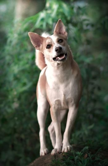 Mountain hound Dog Canine Domestic One Animal Pets Mammal Domestic Animals Portrait Looking At Camera Vertebrate No People Day Focus On Foreground Land Full Length Nature Plant Small Chihuahua - Dog