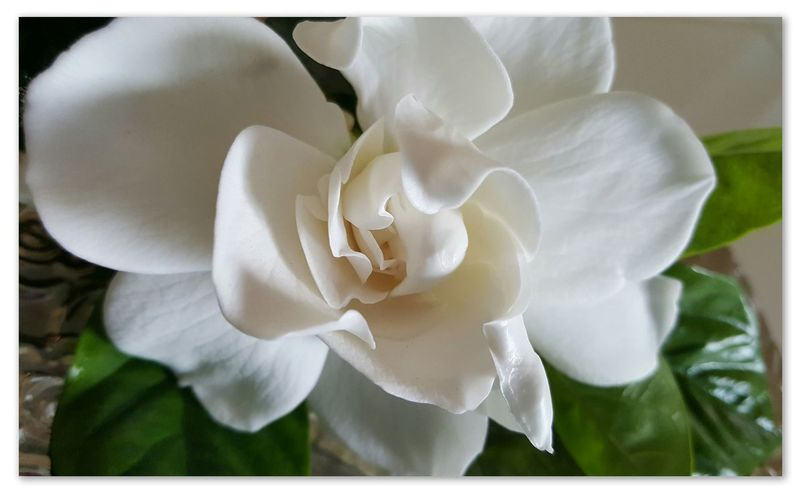 Gardenia Flower from my Front Porch Fragrant Flowers Flower Nature Beauty In Nature Petal Flower Head Close-up No People Freshness Growth Day Plant Fragility Beautiful Bigislandhawaii Namaste ❤