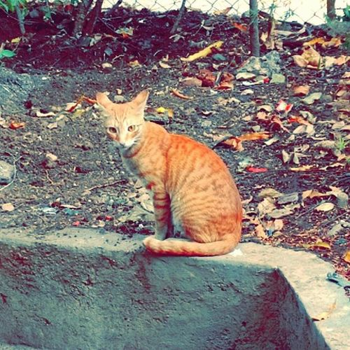 Kitty in my neighborhood! Although I'm a dog person but then she looks stunning with her golden fur and eyes, isn't she? GoldenCat Puneclickarts Streetsofindia Snapstory Snapchat Upclosestreetphotography