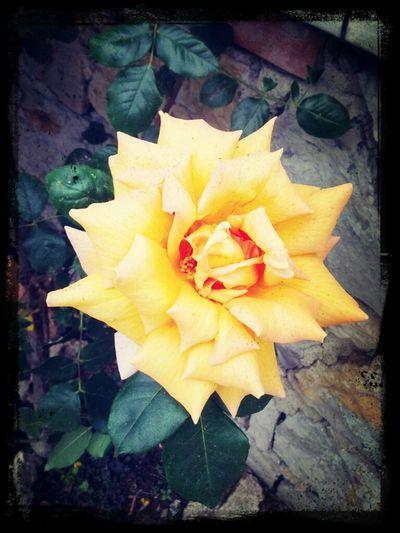 Rose Vol.3