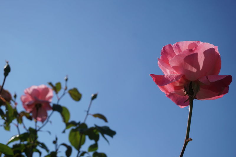 EyeEm Selects Roses🌹 Pink Rose Flower Flower Plant Nature Day Springtime Sky Outdoors Blue No People Pink Color Freshness Close-up Clear Sky Flower Head Beauty In Nature
