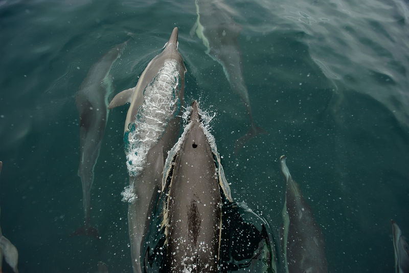 Close-up of dolphins swimming in ocean