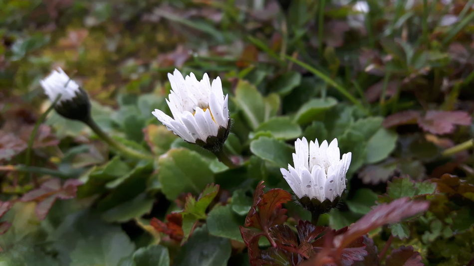 Growth Nature Beauty In Nature Flower Freshness Fragility White Color Plant Flower Head Leaf Focus On Foreground Petal Green Color Close-up No People Outdoors Day Phonegraphy Taking Photos