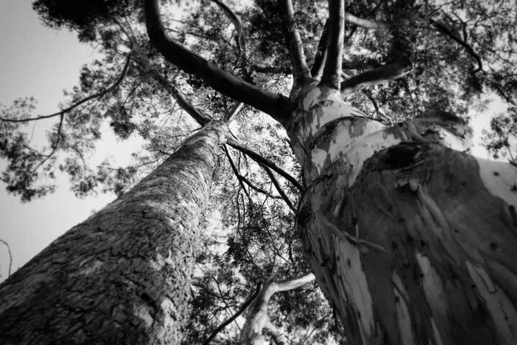Redwood beauties. Trees Redwood California Nature Outdoors Black And White Giants Nature's Diversities