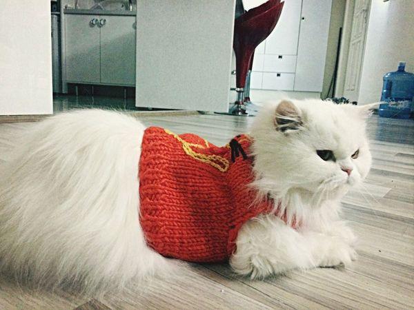Cats Cat Lovers Persiancat
