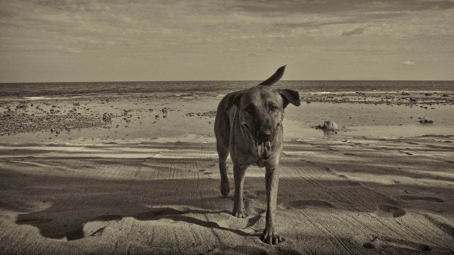 Animal Themes Beach Beach Dog Beachphotography Beauty In Nature Black And White Collection  Blackandwhite Photography Dog Lover Dogslife Dog❤ Happy :) Islandlife Koh Phangan Sand Sea Thailand Thailand_allshots Thailandtravel Water