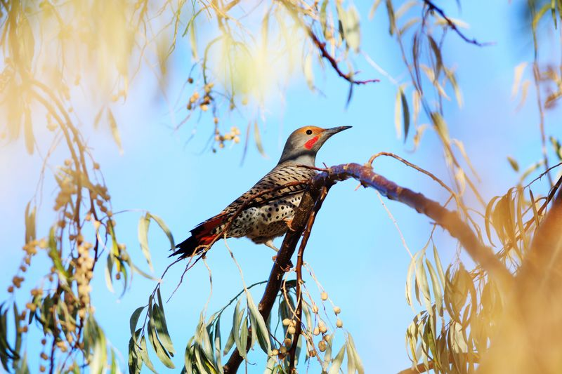 Northern Flicker in a tree Utah Beautiful Nature Bird Northern Flicker Animals In The Wild Animals Woodpecker Woodpecker In Tree Bird Tree Branch Bare Tree Full Length Sky Animal Themes Feather