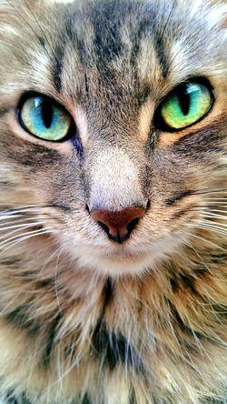 Cat Animals Fauve Fauna Pets